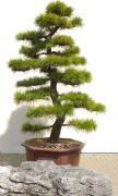 Gardenbonsai - Pine tree, approx. 40 years