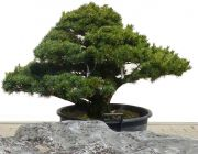 Gardenbonsai - Pine tree, approx. 30 years