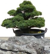 Gardenbonsai - Pine tree, approx. 35  years