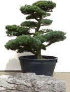 Gardenbonsai - Pine tree, approx. 45 years