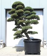 Japanese white pine, approx. 55 years
