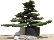 Gardenbonsai - Pine tree, approx. 80 years
