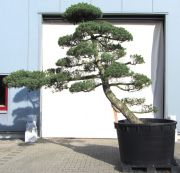 Japanese white pine, approx. 45 years