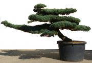 Pine tree, approx. 50 years