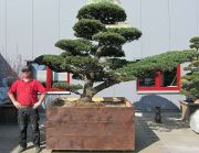 Japanese white pine, approx. 50 years