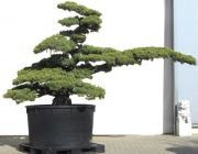 Gardenbonsai - Pine tree, approx. 60 years