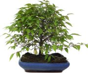 <b>Japanese Grey-bark Elm</b>