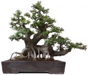 Chinese elm, approx. 70 y. (80 cm)