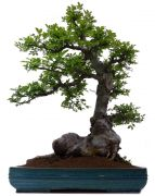 Chinese elm, approx. 30 y. (78 cm)
