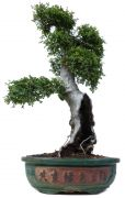Chinese elm, approx. 35 y. (72 cm)