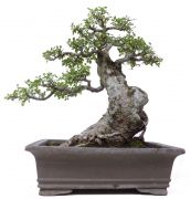 Chinese elm, approx. 50 y. (63 cm)
