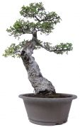 Chinese elm, approx. 35 y. (71 cm)