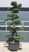 European Larch, approx. 25 years
