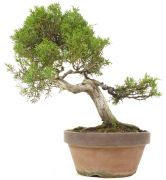 Juniperus chinensis, env. 20 ans (28 cm)