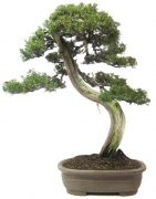 Juniperus chinensis, env. 80 ans (74 cm)