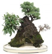 Japanese white pine, approx. 12 y. (40 cm)