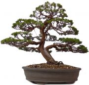 Chinese Juniper Itoigawa, approx. 35 y. (47 cm)