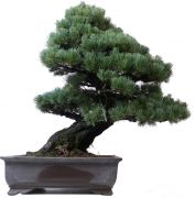 Japanese white pine, approx. 50 y. (75 cm)
