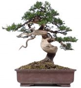 Chinese Juniper, approx. 30 y. (35 cm)