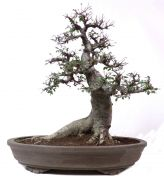 Chinese elm, approx. 40 y. (61 cm)