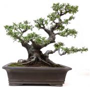 Chinese elm, approx. 35 y. (52 cm)