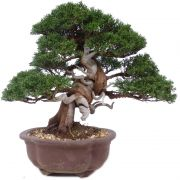 Chinese Juniper, approx. 15 y. (28 cm)