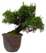 Chinese Juniper, approx. 15 y. (19 cm)
