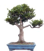 Box tree, ca. 40 y. (65 cm)
