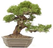 Chinese Juniper Itoigawa, approx. 20 y. (19 cm)