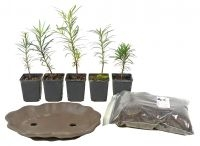Buddhist Pine-Forest-Set - www.bonsai.de