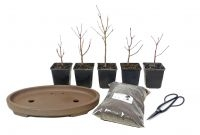 Maple-forest-Set - www.bonsai.de