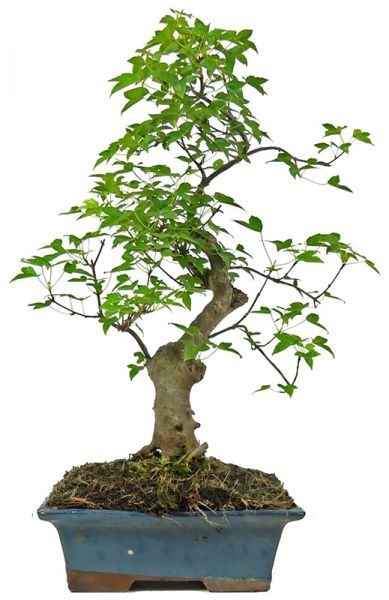 Trident Maple, ca. 12 y. (43 cm) - www.bonsai.de