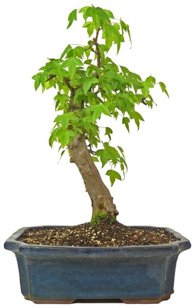 Trident Maple, ca. 14 y. (36 cm) - www.bonsai.de