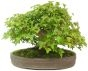 Trident Maple, ca. 30 y. (31 cm) - www.bonsai.de