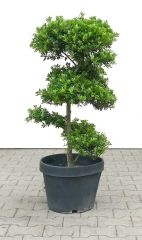 Ilex, approx. 15 years - 50 x 50 x 90 cm - www.bonsai.de
