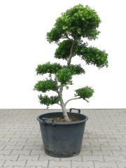 Gardenbonsai - Ilex, approx. 15 years - 70 x 65 x 110 cm - www.bonsai.de