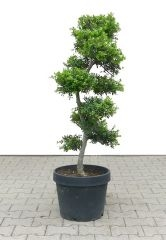 Gardenbonsai - Ilex, approx. 15 years - 50 x 50 x 115 cm - www.bonsai.de