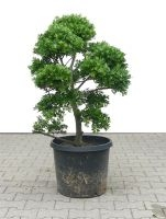 Gardenbonsai - Ilex, approx. 15 years - 70 x 70 x 100 cm - www.bonsai.de
