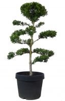 Gardenbonsai - Ilex, approx. 18 years - www.bonsai.de