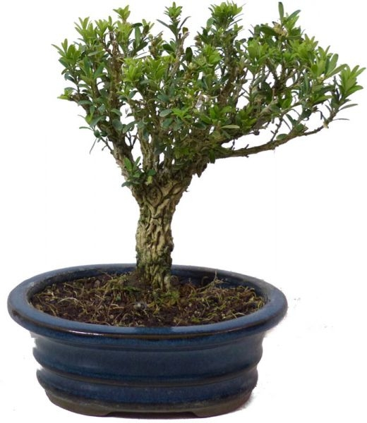 shop bonsai kalthaus k012 k012 08. Black Bedroom Furniture Sets. Home Design Ideas
