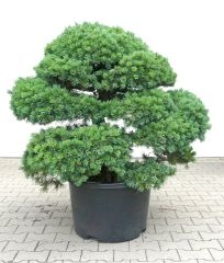 Gardenbonsai - Pine tree, approx. 35 years - www.bonsai.de
