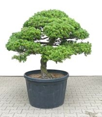 Gardenbonsai - Pine tree, approx. 40 years - www.bonsai.de