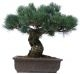 Pin blanc du Japon, env. 20 ans (38 cm) - www.bonsai.de