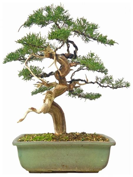 Chinese Juniper, ca. 15 y. (33 cm) - www.bonsai.de