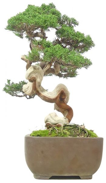 Chinese Juniper, ca. 25 y. (45 cm) - www.bonsai.de