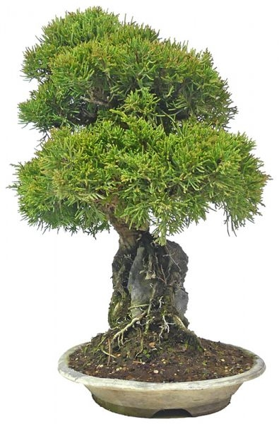 Chinese Juniper, ca. 18 y. (32 cm) - www.bonsai.de