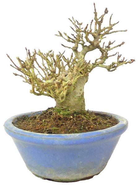 Trident Maple, ca. 15 y. (13 cm) - www.bonsai.de