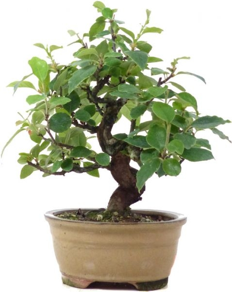 Chin. Quitte, ca. 10 J. (23 cm) - www.bonsai.de