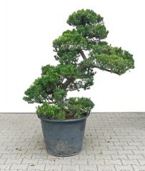Gardenbonsai - Taxus cuspidata, approx. 25 years - www.bonsai.de