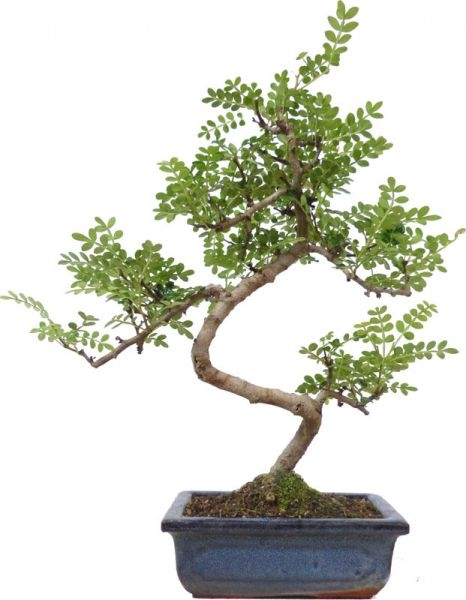 Pfefferbaum, ca. 7 J. (32 cm) - www.bonsai.de